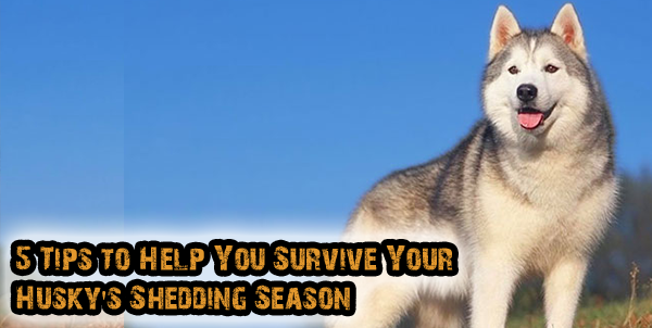 Husky Shedding 5 Tips To Help You Survive Dogs Addict