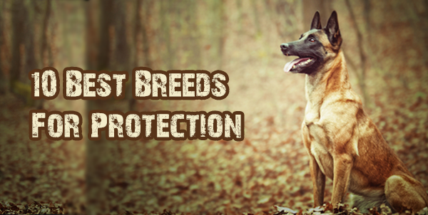 Best Indoor Dogs For Protection