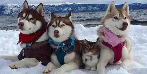 huskies and cat