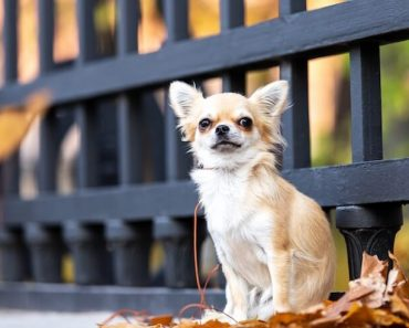 Chihuahua Feature