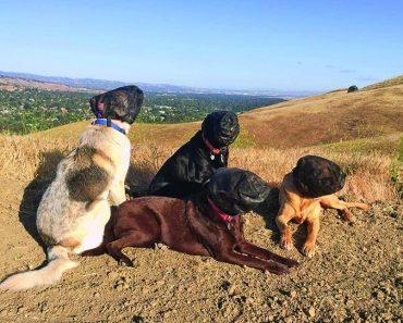 dogs wearing outfox field guard