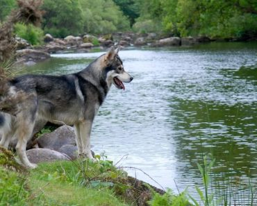 Northern Inuit Dog Feature