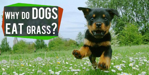 Dogs Eat Grass