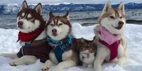 huskies and cat