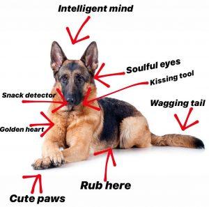 German Shepherd Anatomy