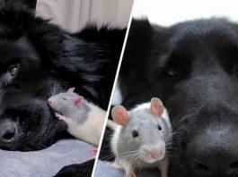 Tiny Rat Always Runs To His Giant Dog Friend