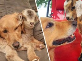 Golden Retriever Lives On A Farm With Baby Goats