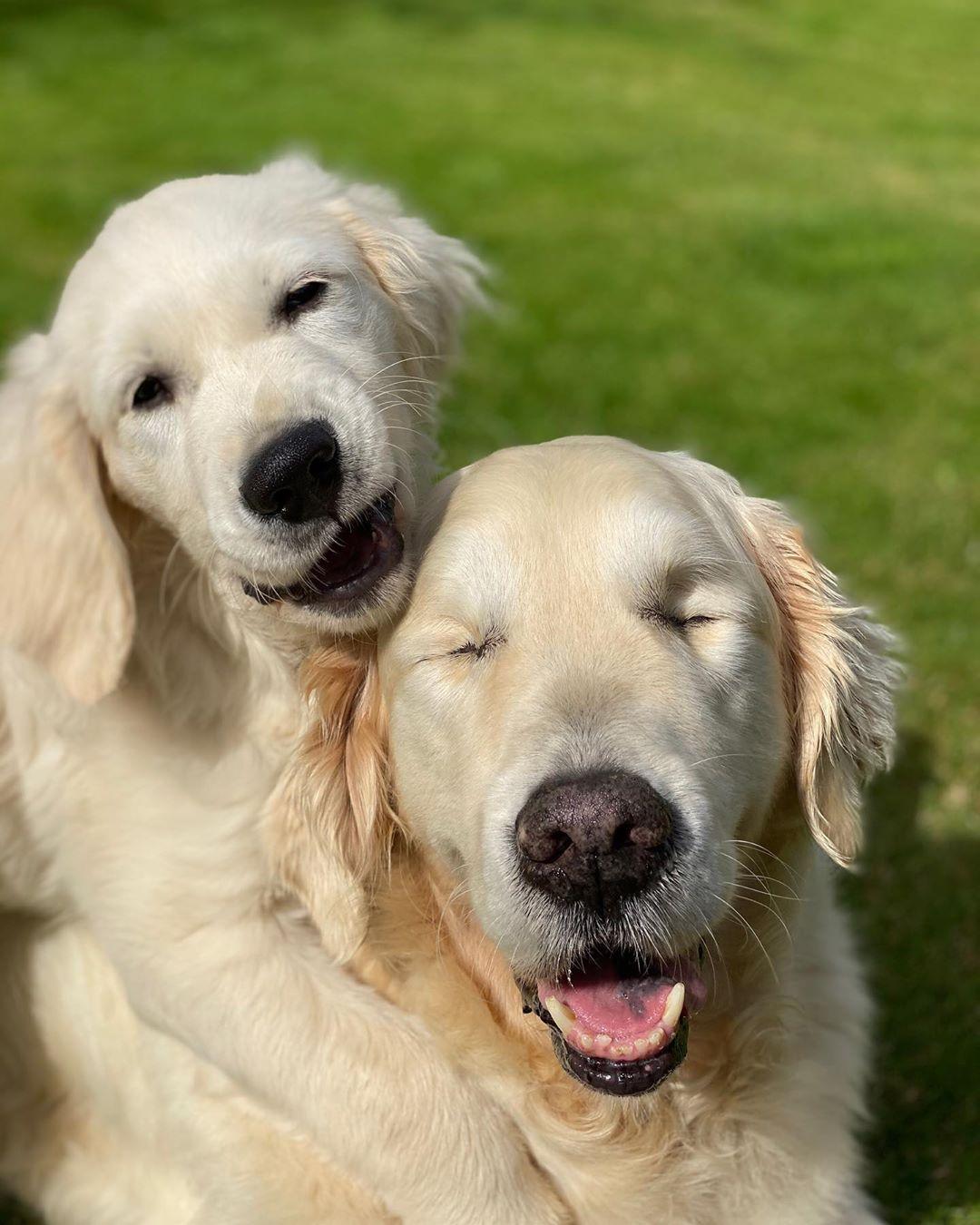 Blind Golden Retriever
