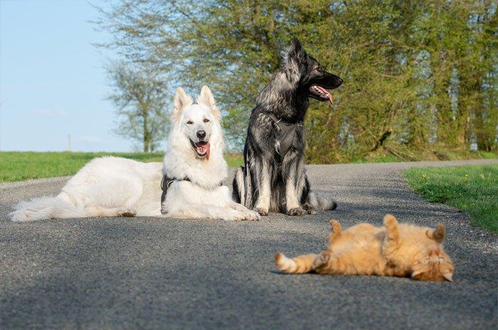 Dogs Help Raise Rescue Kitten