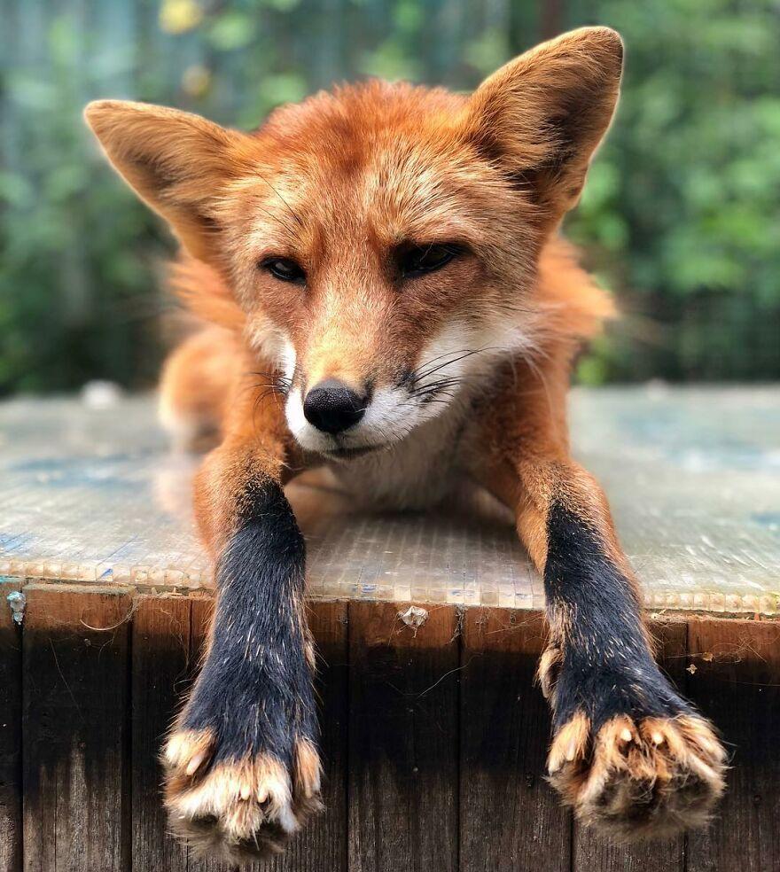 Fox From Fur Farm
