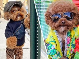 Maltipoo Dog Goes Viral For His Poses