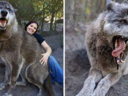 Wolfdog Dumped At Kill Shelter