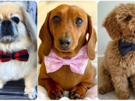 14 Dogs Looking Perfectly Distinguished in Bowties
