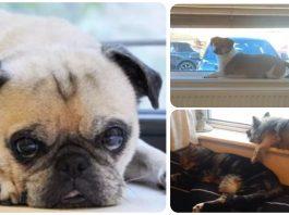 15 Dogs Chilling On Windowsills Like Cats