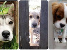 20 Dogs Peeking at You Through Fences