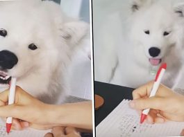 Fluffball Samoyed Steals His Owner's Pen Because It's Playtime, Not Worktime