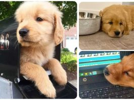 12 Golden Retriever Puppies Who Are Too Pure For This World