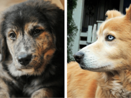 10 Gorgeous Golden Retriever Mixes You Just Have To See