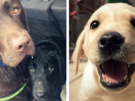 11 Amazing Facts About Labradors You Probably Never Knew