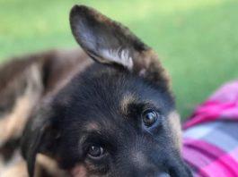 14 Cute German Shepherd Dogs & Puppies
