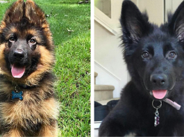 20 Of The Most Adorable German Shepherd Pups You'll Ever See