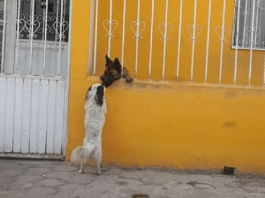 German Shepherd Helps His Tiny Friend Over The Fence To Visit Him Every Day