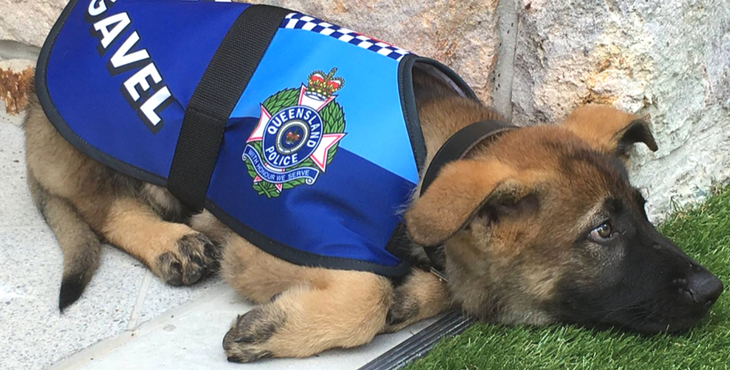 Police Puppy Fired For The Most Adorable Reason Lands An Even Better Job